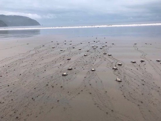 Tambor, Costa Rica: In October we were able to help release newly hatched sea turtles into the ocean!