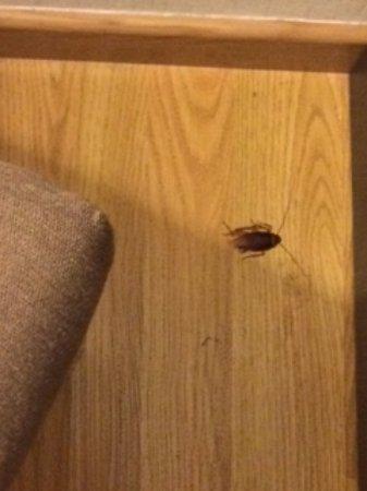 El Conquistador Hotel: Esta cucaracha la encontré en la noche en mi habitación, al segundo día de estaer alojada.