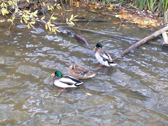 Takeley, UK: Close ups of ducks on lake