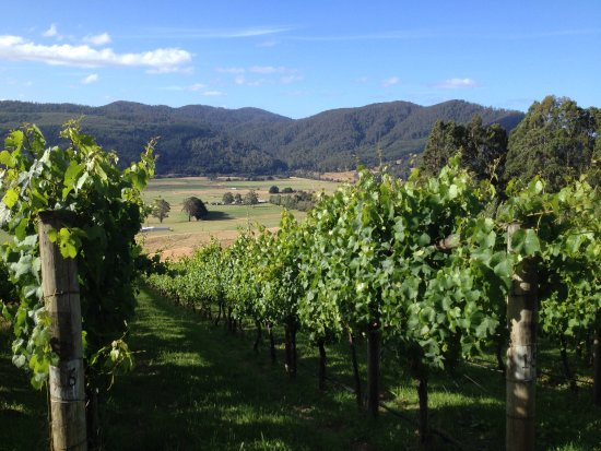 Gunns Plains, Australien: Early summer in the vines