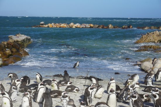 Strandfontein, South Africa: Stony Point - African Penguins