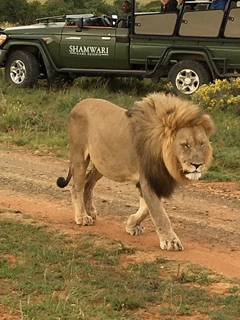 Shamwari Game Reserve Lodges: One of the lions we saw on our trip. 30