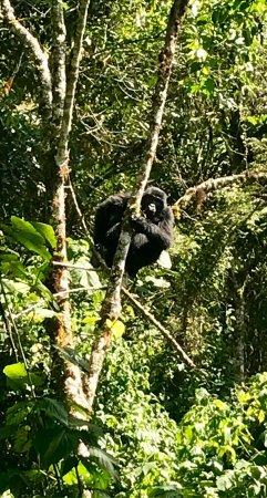 Kisoro, Uganda: Gorilla trekking trough Mountain Gorilla Coffee Tour