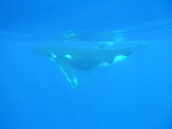 Haapiti, Fransk Polynesia: Baleine