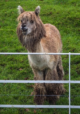 Clanard Court Hotel: An Alpaca in the grounds