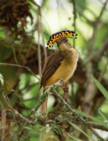 La Virgen, Costa Rica: Royal Flycatcher