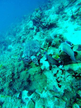 Bouillante, Guadeloupe: Une jolie tortue imbriquée, accompagnée de deux poissons-anges !