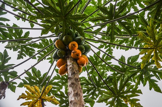 Holualoa, HI: One of the fresh fruits you will eat on the property