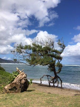 Waihee Beach Park: Tree on tip toes