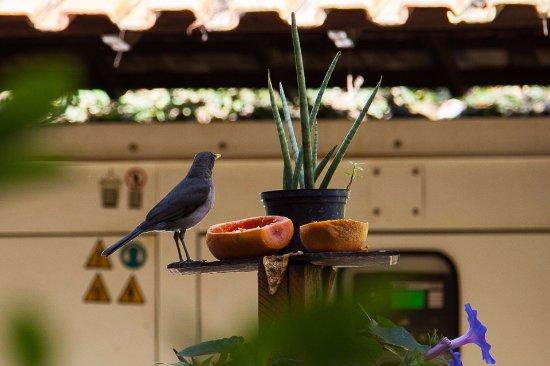 Portal dos Borbas : Pássaros que frequentam o jardim. Foto feita da mesa do café da manhã.