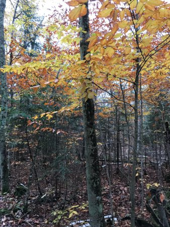 Ellison Bay, WI: Fall color of beech trees contrasts with the evergreens