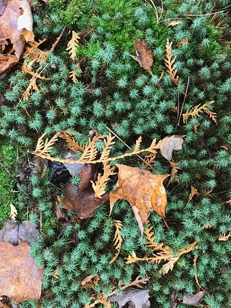 Ellison Bay, WI: A clump of starry moss
