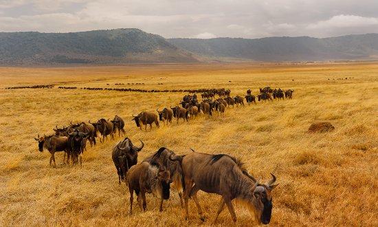 Diani Beach, Kenya : wilderbeest of Mara