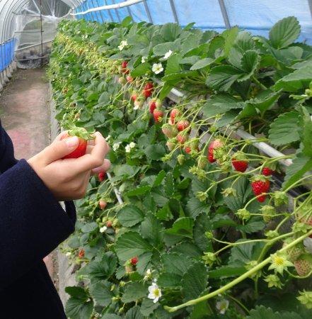 Mt.Kuno Strawberry Picking