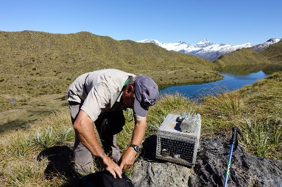 Eco Wanaka Adventures: Checking stoat traps in Mt Aspiring national park