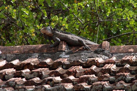Trois-Ilets, Martinique: Iguane de l'îlet Chancel