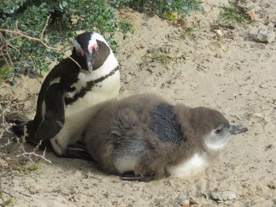 Boulders Beach: young and old penguins on view