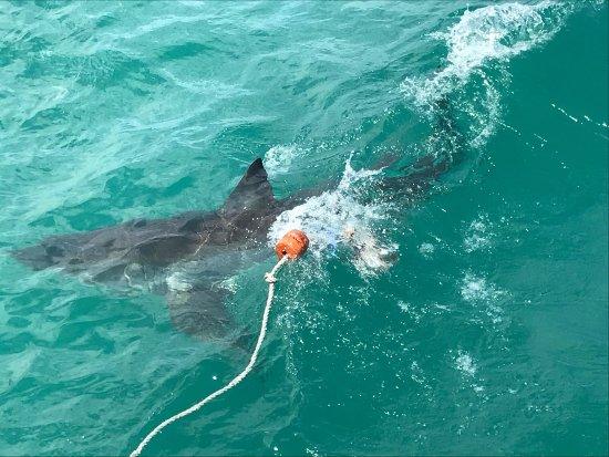 Shark Diving Unlimited: photo3.jpg