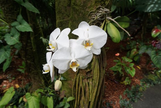 Papaikou, HI: 蘭の花