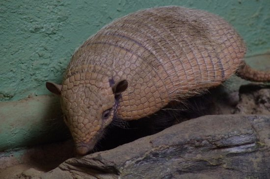 Chelmsford, UK: Handsome armadillo