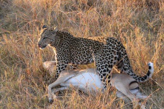 Maun, Μποτσουάνα: leopard for khwai area