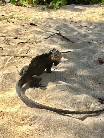 Petite Terre : l'iguane