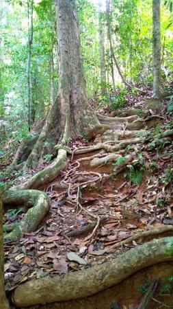 Matoury, Fransk Guyana: racines formant un escalier