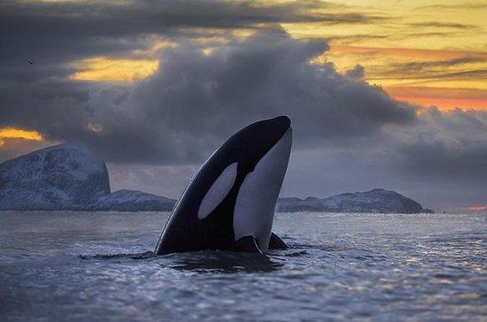 Tromso Whale Safari Aboard a Yacht