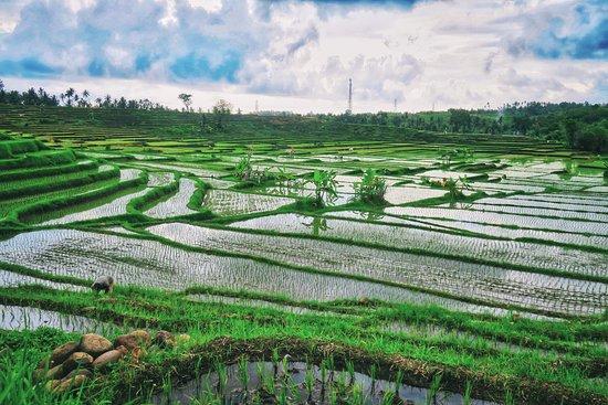 Jembrana, Indonesia: Medewi rice field