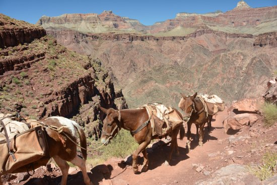 Phantom Ranch : Mule Train on Kaibab