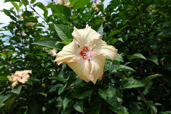 Pohnpei, Mikronesiens Forenede Stater: Ytterligare blommor.