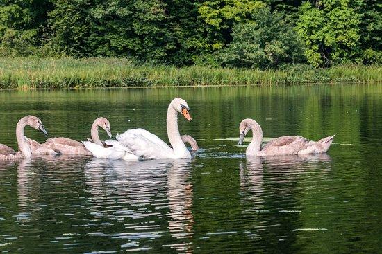 Sodus, Νέα Υόρκη: Swans on Maxwell Creek