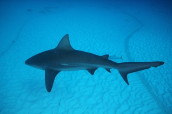 Koox Diving: Bull sharks migrate every November - March to the cooler waters near Playa del Carmen.