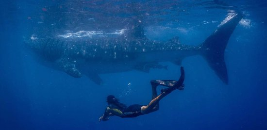 Koox Diving: Whale Sharks - the biggest fish in the world - what an amazing encounter