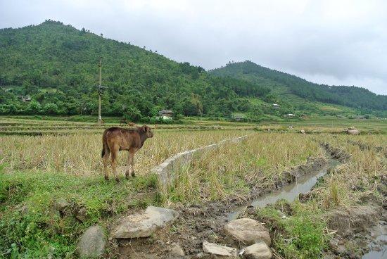 Yen Bai Province, Vietnã: Kalb im Reisfeld