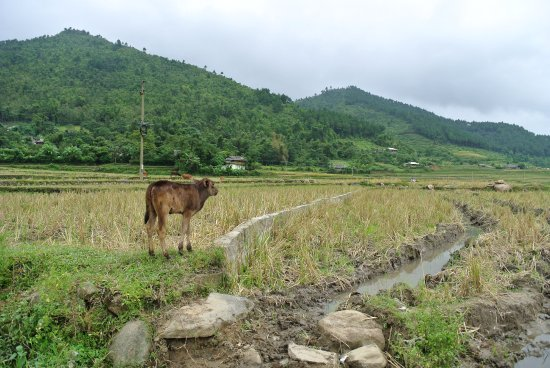 Yen Bai Province, Vietnam: Kalb im Reisfeld