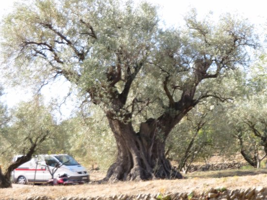 Le Beausset, Francia: The oldest Olive tree at the winery