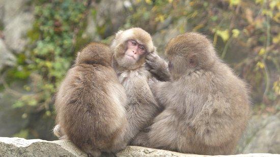 Snow monkeys voltagebd Images