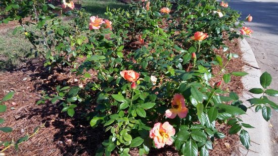 Gardens of the American Rose Center: the roses