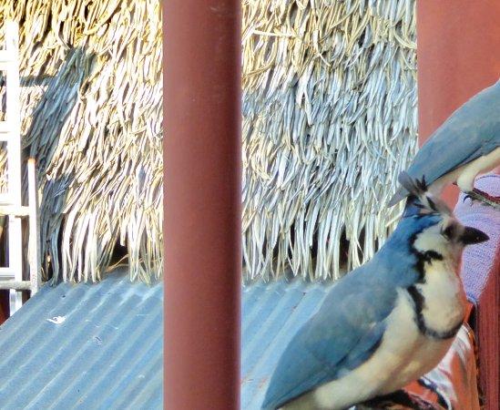 Hotel RipJack Inn: Les pies costaricaines devant notre chambre .... des voleuses