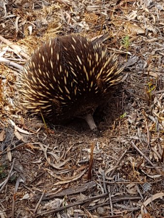 Little Swanport, Australia: A friendly echidna