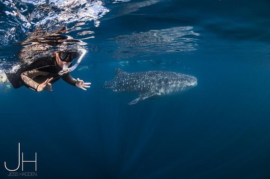 Deluxe WhaleShark Swim Tour on the ...