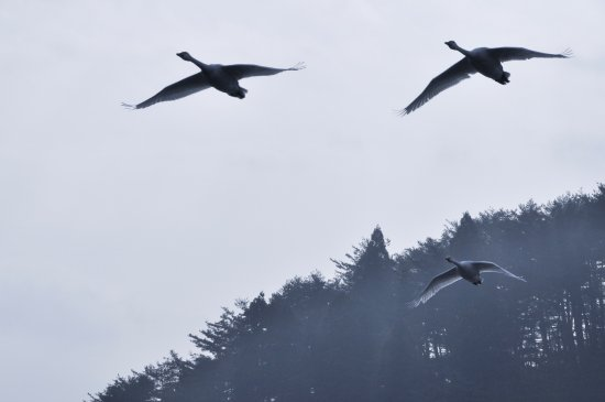 Shibata, Japonia: お部屋から白鳥が飛んで行く姿を楽しめます