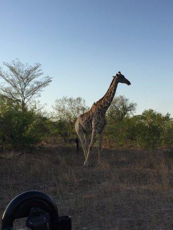 Londolozi Private Game Reserve, South Africa: Giraffe