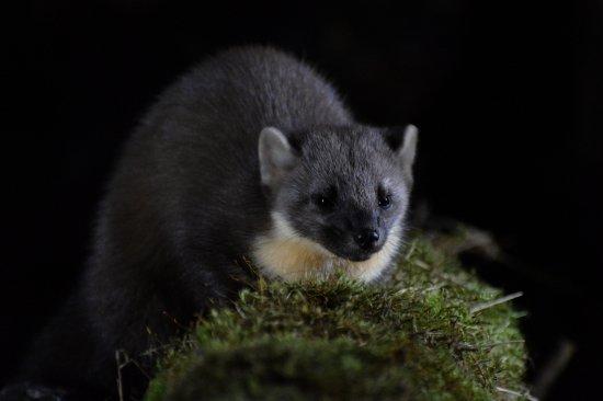 Blairgowrie, UK: Pine marten