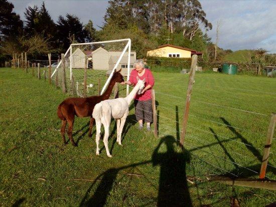 B&B Blossom Cottage: Two very friendly alpaca's who love their breakfast