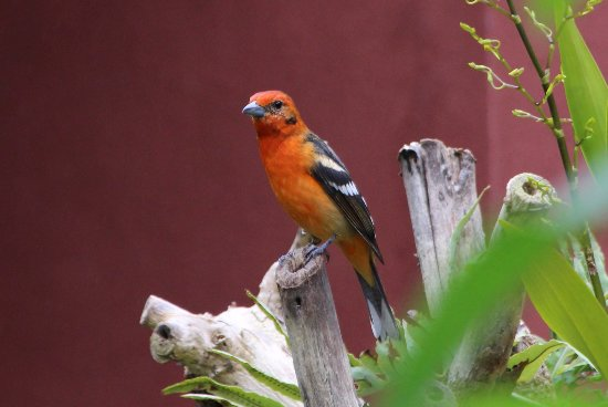 Savegre Hotel, Natural Reserve & Spa: Red Breasted Tanager