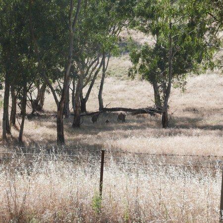 Kangaroos dining .3 km away