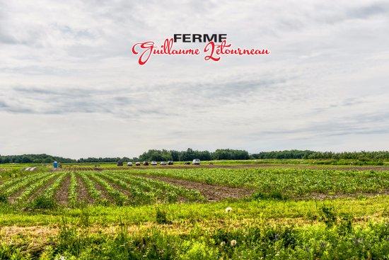 Sainte-Famille, Canada: Autocueillette Fraises