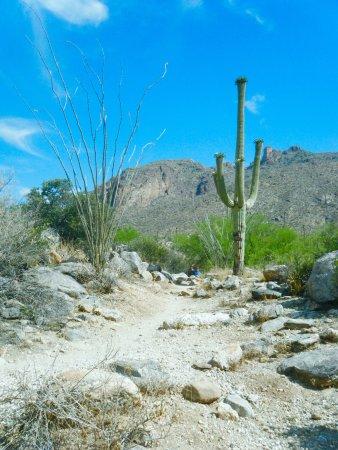 Ocotillo. - Picture of Finger Rock Trail, Tucson - TripAdvisor